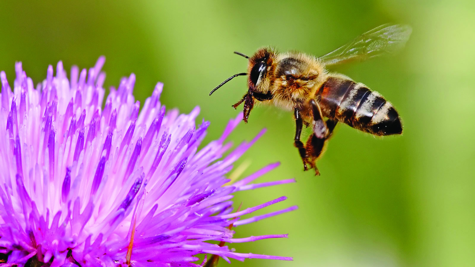 <h4>NO BEES, NO FOOD</h4><h5>Goal: To stem the alarming decline in bees and other pollinator species, let's stop using the bee-killing pesticides known as neonicotinoids.</h5><em>sheliapic76 via Flickr</em>